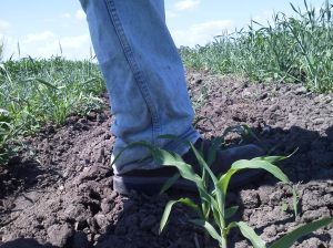 ankel high sweet corn july 3 2013