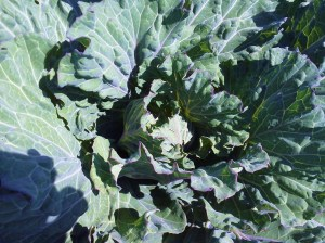 Verona Savoy Cabbage 2013